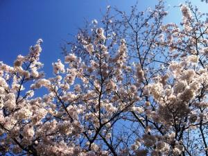 Oiso sakura
