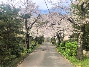 令和3年白岩神社参道の桜R3.03.29